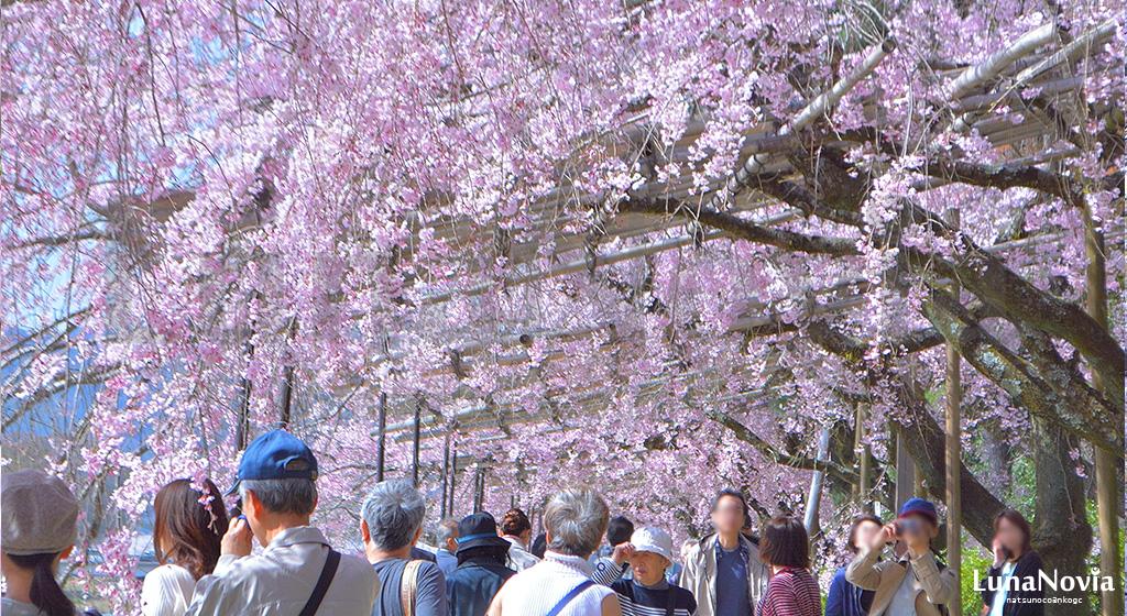 賀茂川の桜棚の桜